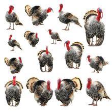 Collage Grey Turkey Isolated On White Background