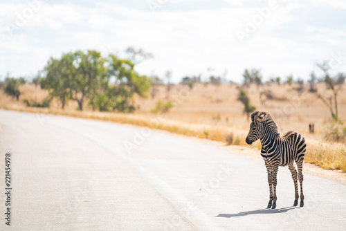Poster Zebra Zebra foal is crossing the road at Kruger Nationalpark, South Africa