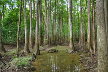 Reflections Of Cypress Trees In The Swamp Of Congaree National Park.