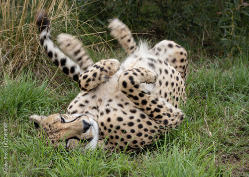 Fotografie, Obraz  Cheetah in captivity. taking playful roll after a meal