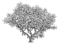 Cocoa Tree Illustration, Drawing, Engraving, Ink, Line Art, Vector