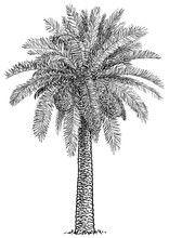 Date Palm Tree Illustration, Drawing, Engraving, Ink, Line Art, Vector