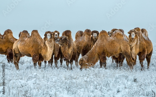 Spoed Fotobehang Kameel Camels in the winter Stavropol steppe. Pets in the steppe. The firm is on the shore of Lake Manych-Gudilo, south of Russia.