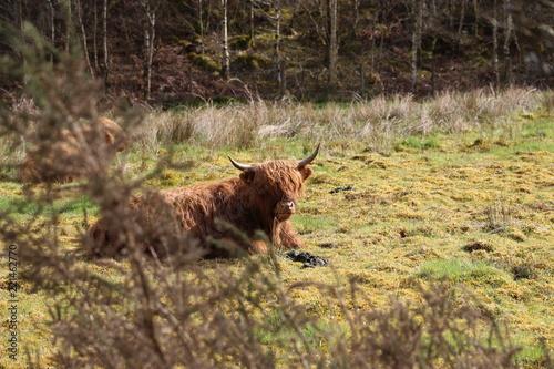 Photo  Aberdeen Angus Cow