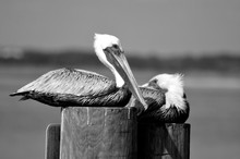 Pelican Resting On River Pilings Florida, USA