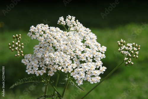 białe, małe kwiaty ziela krwawnika