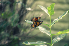 Two Monarch Butterflies Mating...
