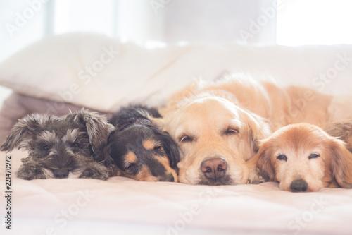 Canvastavla Sleeping dogs