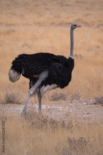 Ostrich in Etosha National Park, Namibia