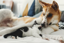 Cute Little Kitty Sleeping On Big Golden Dog On Bed With Pillows In Stylish Room. Adorable Black And White Kitten And Puppy With Funny Emotions Resting Together. Sweet Moments