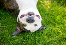 A Pit Bull Terrier Mixed Breed Dog Lying Upside Down In The Grass And Smiling