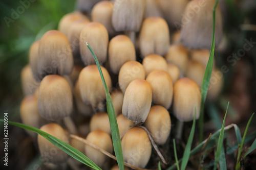 Fotografie, Obraz  грибы несъедобные растут большим семейством