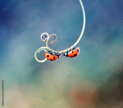 two beautiful ladybug crawling on a winding twig forward towards each other
