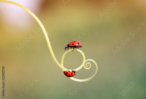 Obraz na plátne two beautiful ladybug crawling on a winding twig forward towards each other