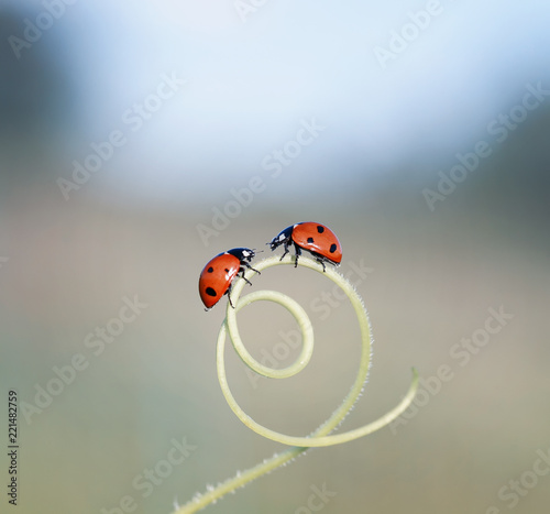 a pair of little ladybugs crawling towards each other through the maze of blades of grass in a summer meadow