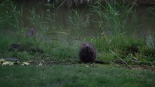 Beaver Eating Apple