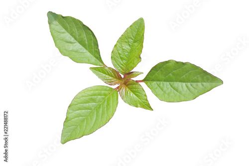 Fotografie, Obraz  Edible Amaranth Spinach