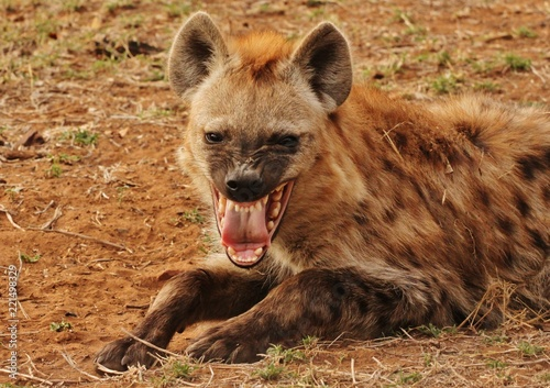 Tablou Canvas Hyena in Kruger National Park