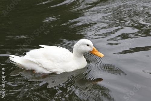 Fotografie, Obraz  anatra bianca cucciolo che nuota nel lago