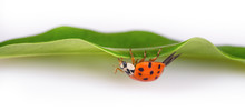 Red Ladybug On A Green Leaf Facing Upside Down. Harmonia Axyridis. Beautiful Close-up Of A Black Spotted Ladybird Crawling On A Natural Green Plant With White Blurry Background. Small Depth Of Field.