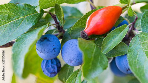 Ripe blue sloes and red hip Canvas Print