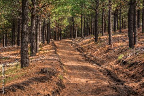 camino en bosque de pimos