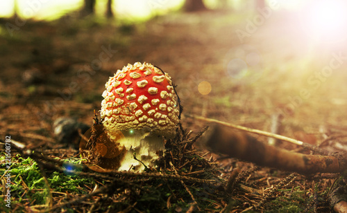 Photo Fly-agaric in a forest, closeup photo, Mushrooms in the forest.
