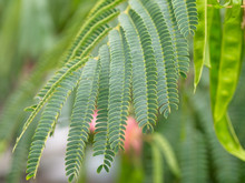 Close-up Of Green Bipinnate Leaves Of Persian Silk Tree Or Pink Siris (Albizia Julibrissin). Foliage And Its Immature Fruit (flat Brown Pod) In The Background.