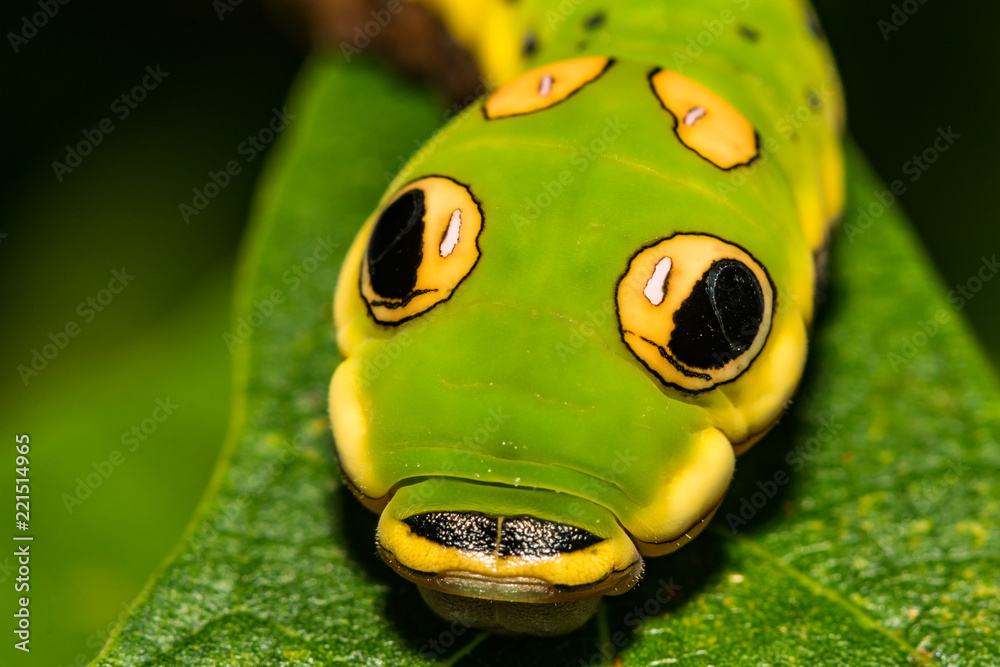 Spicebush Swallowtail Butterfly Caterpillar (Papilio troilus)
