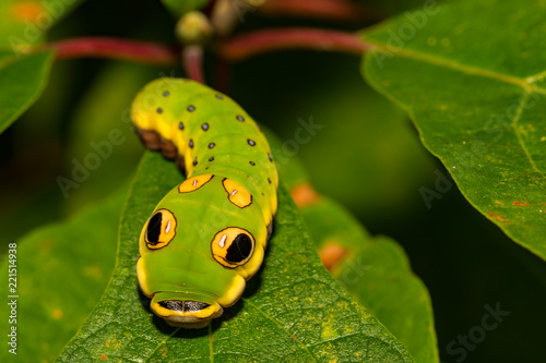 Spicebush Swallowtail Butterfly Caterpillar (Papilio troilus)