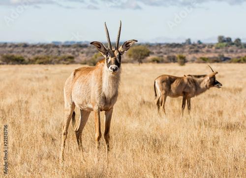 Foto op Aluminium Antilope Roan Antelope