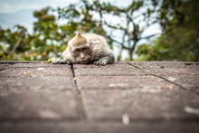 A Funny Little Macaque On The ...