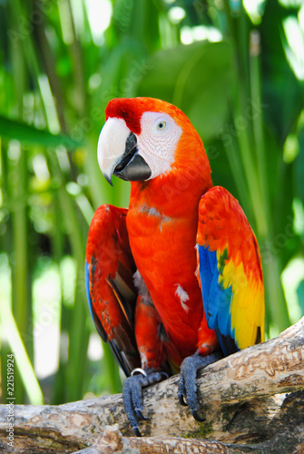 A large colored parrot is sitting on a branch in a Park in Bali.Indonesia