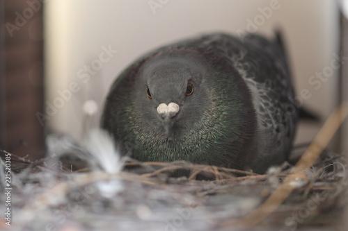 Taube in der Stadt brütet auf ihrem Nest
