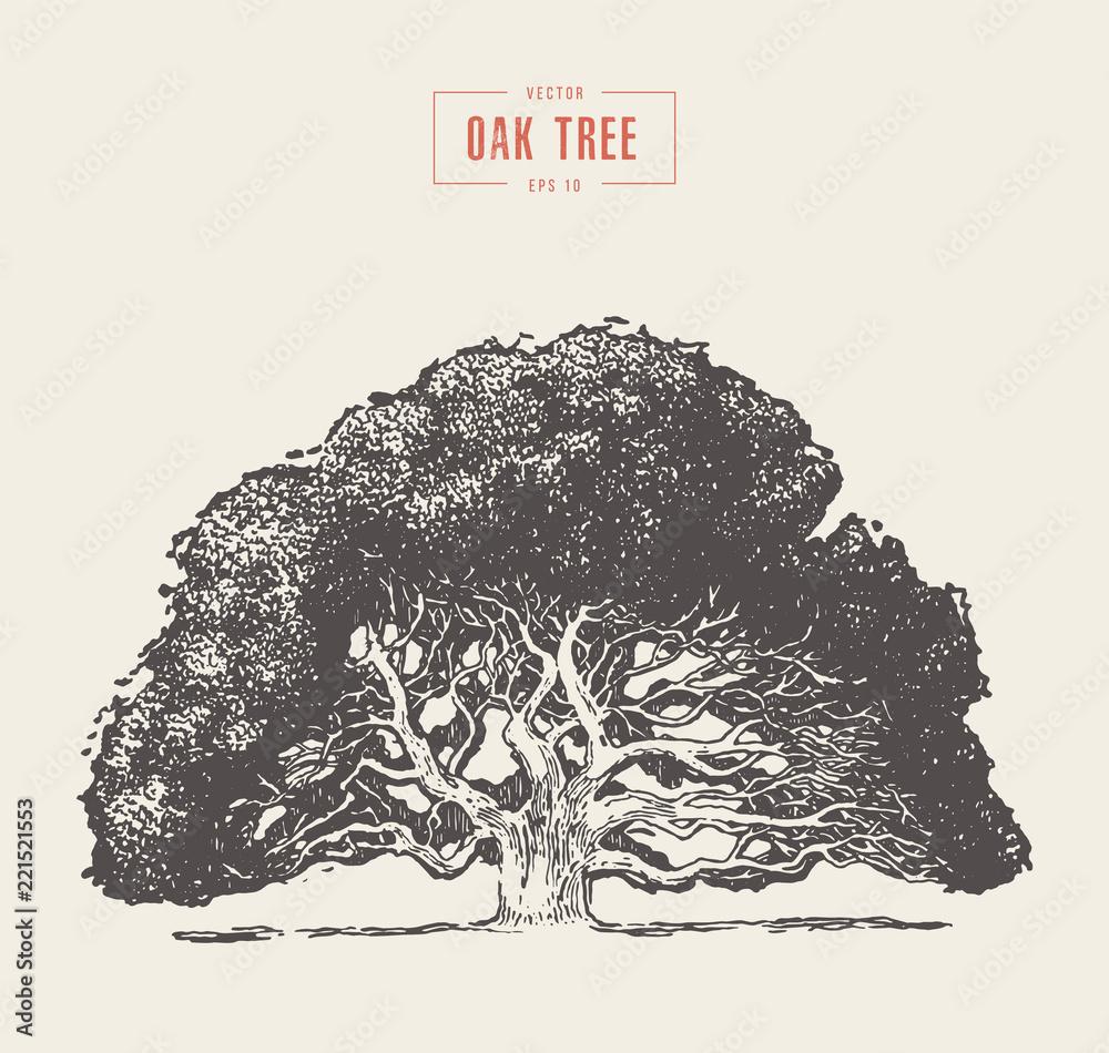 Fotografie, Obraz Old oak tree hand drawn engraved style, vector