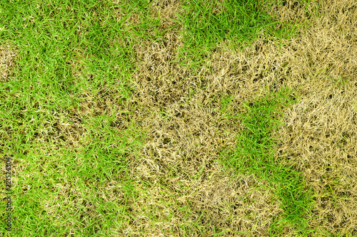 Deurstickers Droogte Grass texture. grass background. patchy grass, lawn in bad condition and need maintaining, Pests and disease cause amount of damage to green lawns, lawn in bad condition and need maintaining.