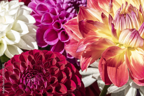 Poster Dahlia Several Beautiful Colorful Flowers
