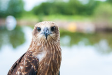 Healthy Brown Hawk Portrait With Blurred Lake Background