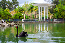 A Black Swan On A Pond, In A Beautiful Park.