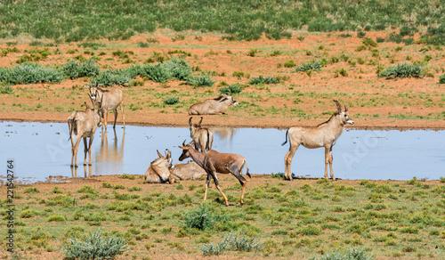 Tsessebe and Roan Antelope