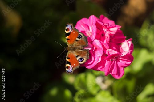 Fotografie, Obraz  Schmetterling auf einer Geranie