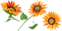 Watercolor Orange Sunflower Fl...