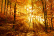 Autumn, Beech Tree Forest, Sunbeams through Fog, Leafs Changing Colour