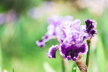 Iris violet parme