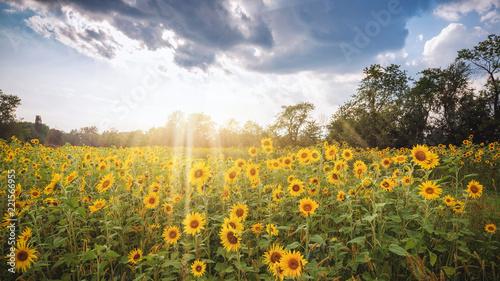 Fotobehang Zwavel geel Sunflowerfields with sunrays