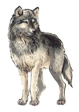 Watercolor Wild Wolf On The Isolated White Background. Hand-painted Forest Animal.