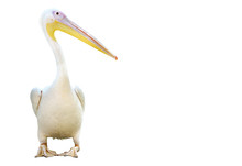 Portrait Of A Pelican Standing...