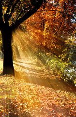 Fototapeta Las Autumn fall tree in alley with trees with rays of sun and colorful autumn leaves