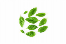 Isolated Fresh Green Basil Herb Leaves  On White Background Top View