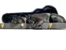 Labrador Qui Dort Dans Un étui à Guitare.